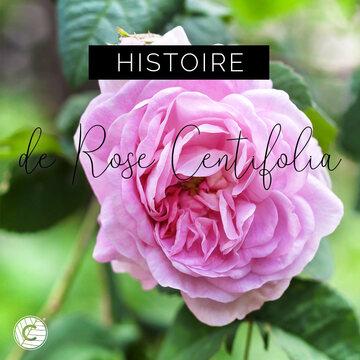 La Rosa Centifolia ou la rose aux «Cent feuilles» est née en Hollande à la fin du XVIème siècle d'un croisement de plusieurs variétés de roses : les Rosa gallica, Rosa moschata, Rosa canina et Rosa damascena. Les plantes sont arbustives en apparence et peuvent se développer jusqu'à 2m de haut, avec de longues tiges retombantes aux feuilles de couleur vert grisâtre. Elles ont des fleurs rondes et globuleuses, pleines de pétales. Les branches sont couvertes d'épines : les pétioles et les pédoncules sont presque sans armes, mais plus ou moins recouverts de poils glandulaires. Les feuilles sont au nombre de cinq ou parfois sept, de forme ovale. La Rosa Centifolia, aussi appelée rose pâle ou rose chou, est une grande rose très parfumée. Les pétales sont rose pâle ou rose pourpre.   #actif #fleurs #fleursroses #rosecentifolia #petalesroses #petales #nature #plante #rosacentifolia