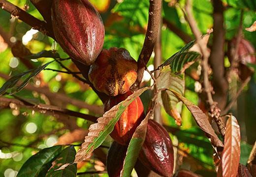 Les bienfaits insoupçonnés du beurre de cacao, ici dévoilés !