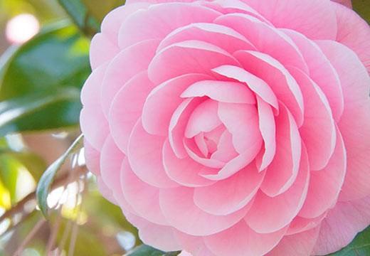 Camélia : la fleur aux secrets de beauté